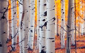 Картинка осень, лес, листья, Колорадо, США, роща, осина, Аспен