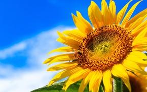Картинка лето, небо, солнце, облака, желтый, подсолнух, крупным планом