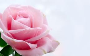 Картинка цветок, цветы, роза, розовая роза