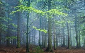 Обои лес, весна, туман