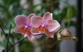 Обои цветы, розовая, красота, экзотика, орхидея, pink, blossom, фаленопсис, phalaenopsis, Orchid, beautiful wallpapers