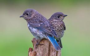 Картинка птица, пара, птенец, пестрый