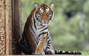 Картинка животные, кошки, тигр