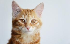 Картинка кошка, кошки, котенок, рыжий, kitten, cat, cute, курильский бобтейл
