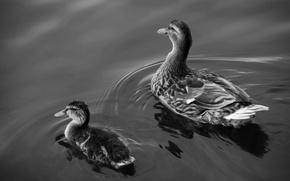 Обои озеро, вода, утки