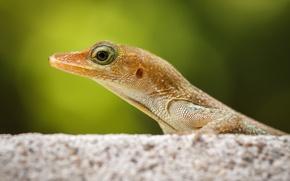 Обои макро, ящерка, рептилия