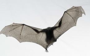 Обои белый, мышь, летучая мышь, tim flach, national geographic, bat