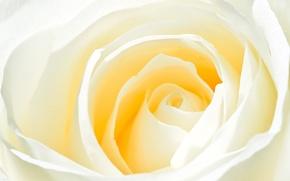 Обои нежность, цветок, роза