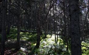 Картинка лес, трава, деревья, Сахалин