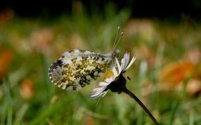 Обои бабочка, макросьемка, природа