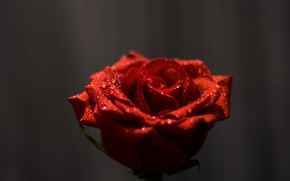Картинка капли, макро, цветы, роза, rose, flowers, macro, drops