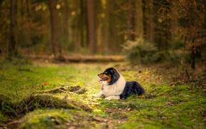 Картинка grass, forest, dog, bokeh, australian shepherd, canine