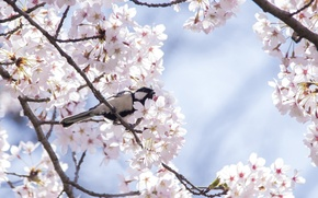 Картинка вишня, дерево, птица, весна, сакура, синица