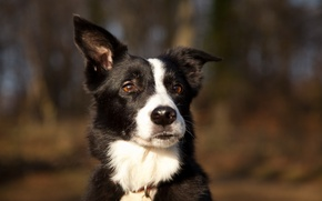 Картинка природа, собака, уши