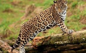 Картинка бревно, морда, смотрит, panthera onca, пятнистая кошка, стоит, jaguar, ягуар, лапы, молодой