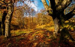 Обои осень, лес, листья, солнце, деревья, желтые, золотая