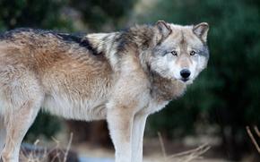 Картинка взгляд, волк, хищник, стоит