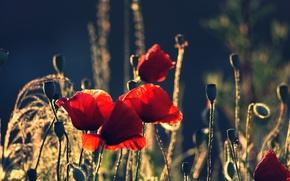 Картинка лето, цветы, природа, маки, лепестки, красные, бутоны