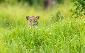 Обои трава, леопард, Африка, зелёный сезон