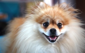 Картинка photo, brown, dog, cute, german, MMaglica photo, MMaglica, spitz, small
