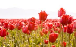Картинка стебли, тюльпан, Цветы, весна, лепестки, тюльпаны, бутоны, flowers, tulips