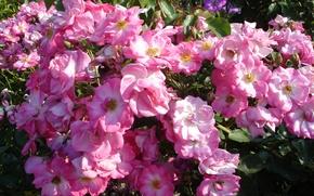 Картинка лето, цветы, розы, розовые