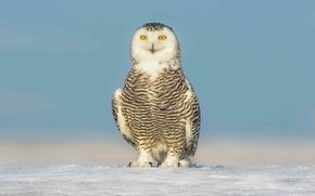Картинка eyes, winter, snow, snowy owl