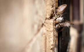 Картинка кошка, кот, морда, смотрит, котэ, стенка, подглядывает