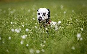 Картинка взгляд, друг, собака, Dalmatian
