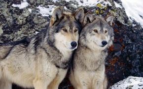 Картинка зима, пара, волки