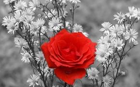 Картинка ромашки, Роза, красная