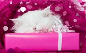 Обои белый, подарок, сон, мордочка, котёнок, тюль, спящий котёнок, спящий, белый котёнок