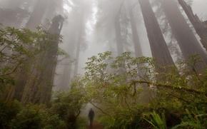 Обои лес, деревья, туман, человек, тропа