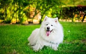 Картинка язык, трава, собака, белая, самоед