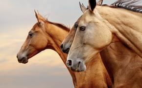 Картинка портрет, морды, обои от lolita777, лошади, кони, профиль, коричневые, тройка, три, рыжие, глаза
