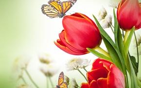 Картинка бабочки, цветы, хризантемы, красные тюльпаны