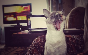 Картинка язык, компьютер, усы, комната, челюсти, мебель, рот, Кошка, ярость, клыки, крик, сиамская