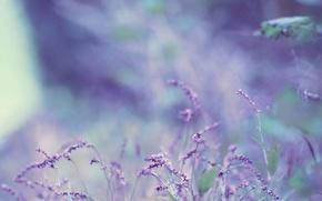 Обои цветок, лаванда, боке, bokeh, lavender