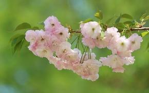 Картинка макро, вишня, фон, ветка, сакура, цветение, цветки