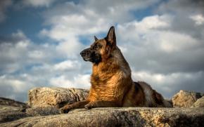 Картинка взгляд, собака, Немецкая овчарка