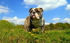 Картинка лето, взгляд, собака