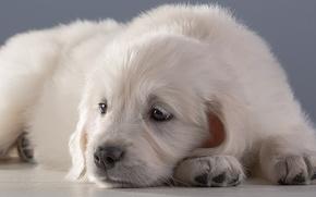 Картинка белый, щенок, ретривер
