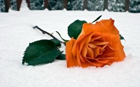 Картинка зима, снег, роза