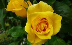 Картинка макро, роза, бутоны, жёлтая роза