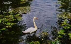 Картинка Nature, Birds, Water, Lake, Swan, Animals, Sorin Ochea Photohraphy, Lebada