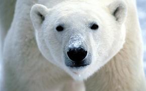 Картинка медведь, морда, Белый