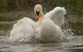 Обои вода, лебедь, крылья, птица, брызги