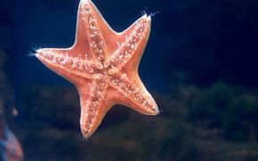 Обои морская звезда