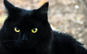 Картинка кот, взгляд, черный