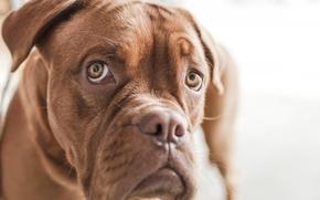 Картинка собака, взгляд, бульдог, гримаса, эмоция, морда, английский бульдог